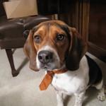 Beagle_CPA_in_a_tie