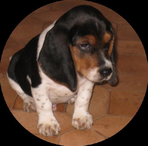 Beagle_Puppy_SiliconCali